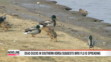 More dead ducks found in southern Korea suggest AI virus is spreading