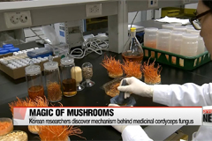 Cordyceps mushroom could help protect humans from flu