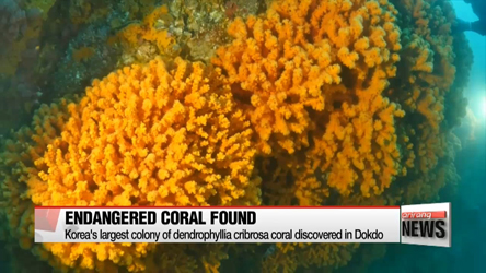 Largest colony of endangered coral in Korea discoverd in Dokdo