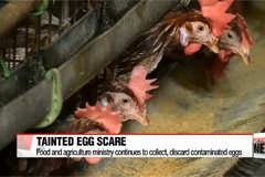Government error fuels confusion over tainted egg scare