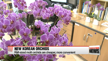 Korean orchid market blooms with newly-bred varieties