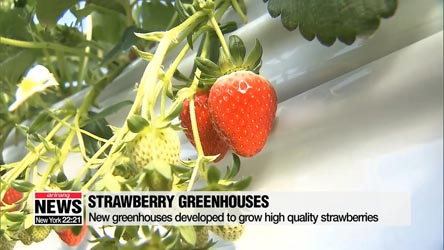 New strawberry harvesting technique boosts fruit quality, exports