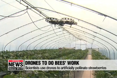 Scientists use drones to artificially pollinate strawberries