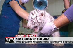White tiger triplets get first check up at Chile zoo