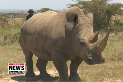 Artificial fertilization is last hope for northern white rhinos