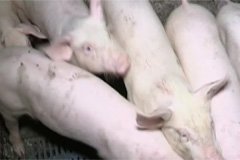 N. Korea should submit official update on African swine fever status: OIE