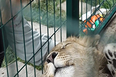Lion cub subjected to horrific abuse nursed back to health in Russia, set to begin new life in Africa