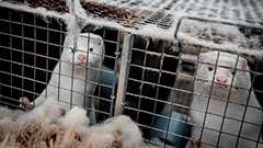 6 countries report COVID-19 outbreaks in mink farms, prompting mass culling and farming restrictions in some