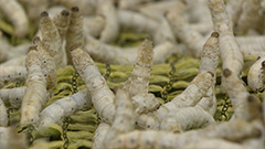 Silkworms found to be effectiv