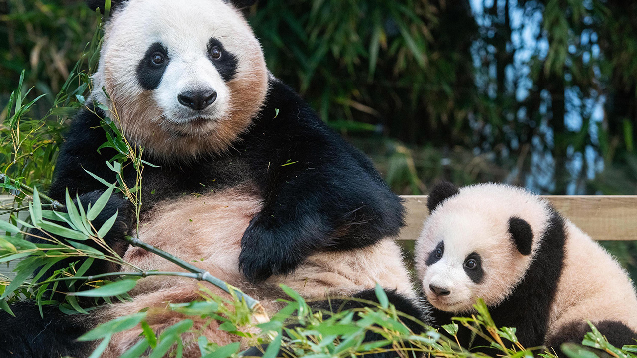 Meet Fu Bao, the first panda born in Korea