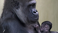 Berlin zoo sees its first gorilla born in 16 years