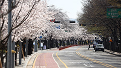 S. Korea sees earliest Cherry Blossom bloom day in nearly 100 years