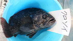 Another fish caught off Fukushima waters with higher than permitted levels of caesium
