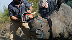 Threat of poaching rhino in S. Africa is back after easing of COVID-19 restrictions