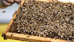 Dutch researchers train bees to detect COVID-19