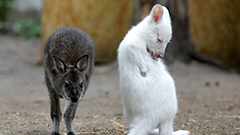 Rare snow-white albino wallaby baby enjoys public appearance at Russian zoo