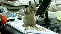 Loyal squirrel guards his rescuer's money not letting anyone near cash register