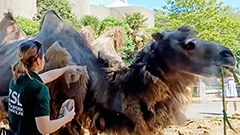 Two camels at London Zoo get haircut on hot day