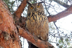 Eagle-owl in downtown