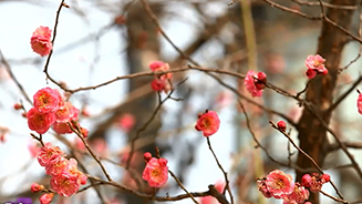 Blooming red apricot blossoms