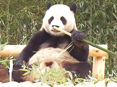 InfoScope How Did Pandas Come to Eat Bamboo? Ep29