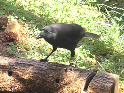 InfoScope Crows Observed Using Tools Ep51
