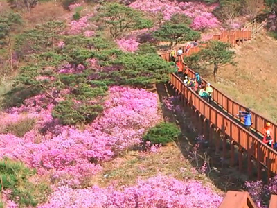 Blooming Azaleas On Goryeosan Mountain