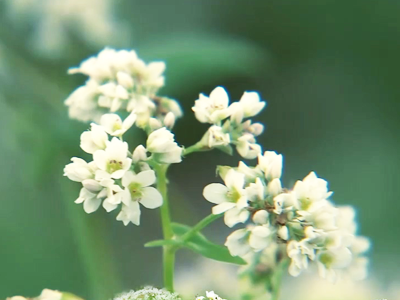 Dangnam-ri Island Buckwheat Flower