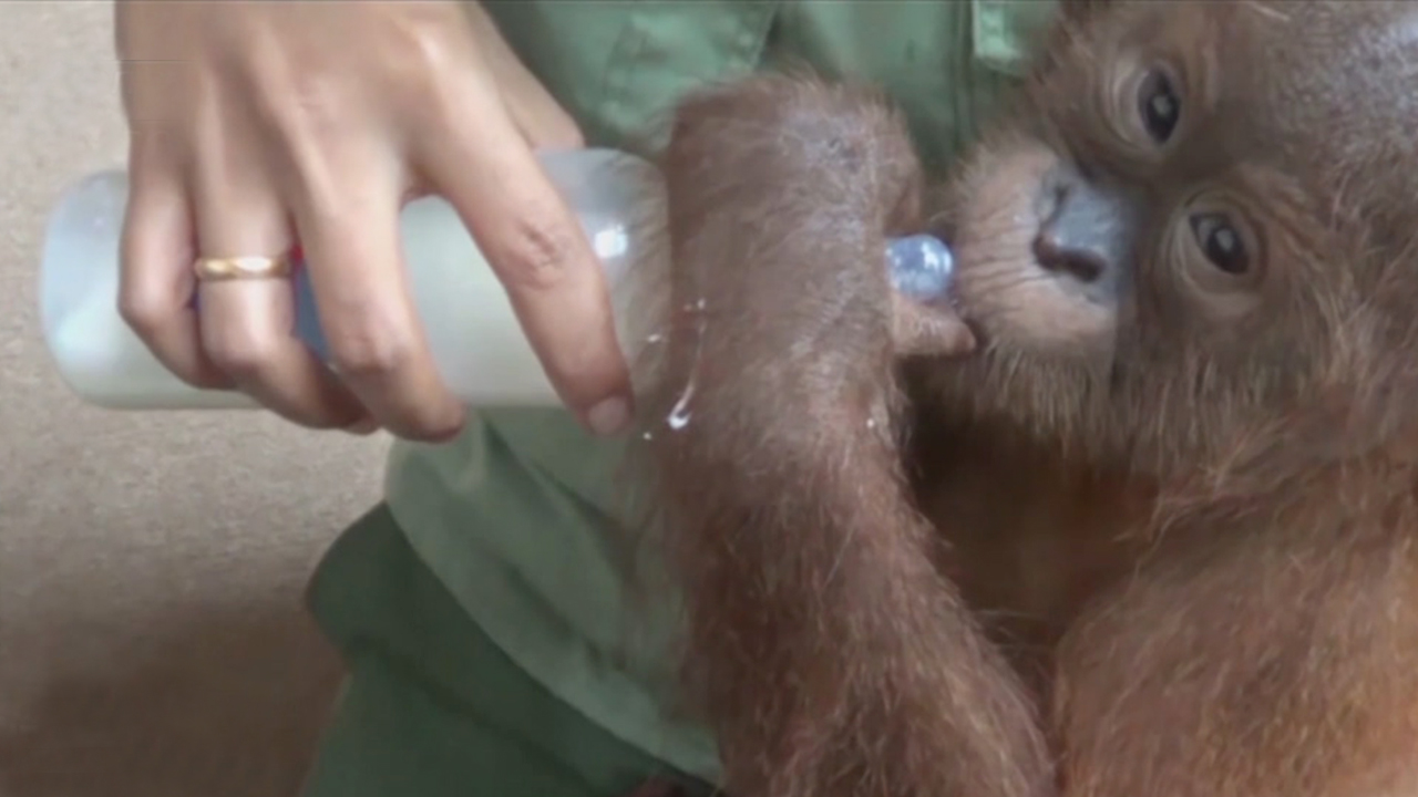 44-5 Baby Orangutan Was Found In A Baggage