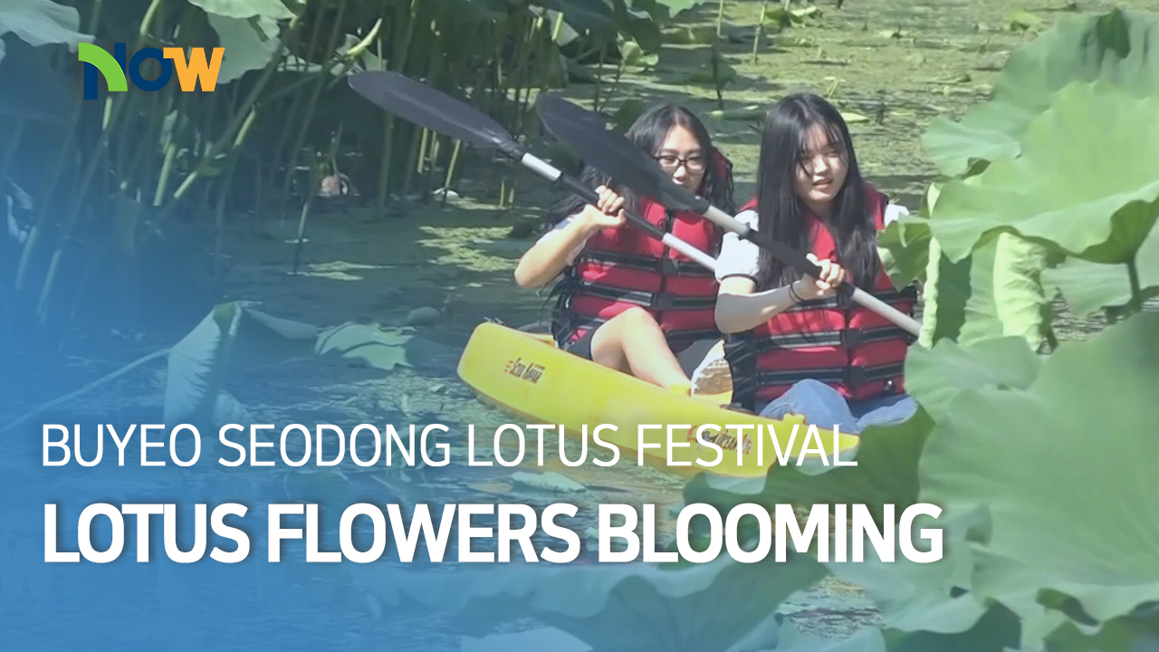 Lotus Flowers Blooming in Summer