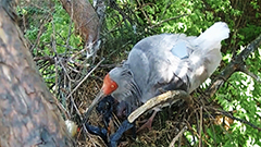 Wild crested ibises born in S. Korea for first time in over four decades