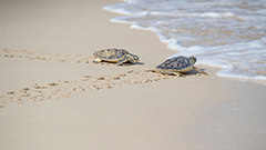 Dubai conservation group rescues and rehabilitates endangered turtles