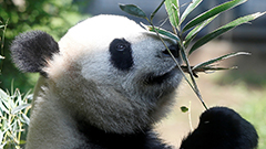 Moscow zoo residents including panda and polar bear beat heat in zoo pools