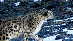 Rare snow leopard captured on camera for first time in 5 years