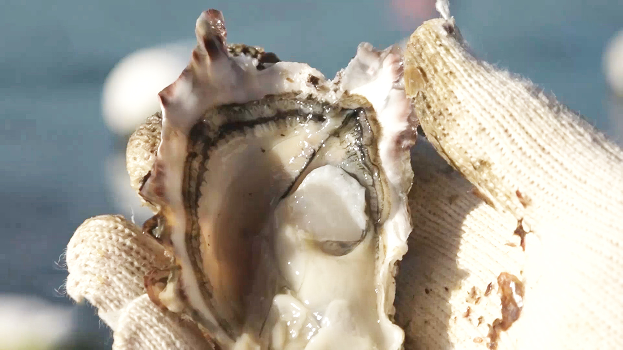 [NOW] Gems of the Tongyeong Sea  - Oysters